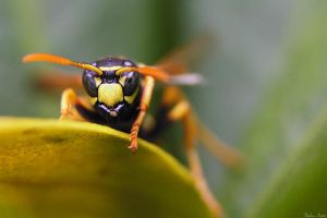 Wasp by mydigitalmind