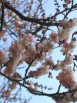 Plum Blossoms by aimeekitty