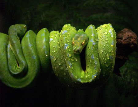 Green Tree Pythons. by purevintage