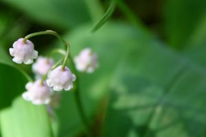LILY OF THE VALLEY I by zraclooc