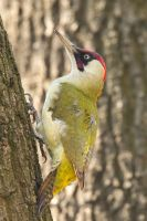 Green Woodpecker by Jamie-MacArthur