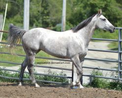 Grey quarter horse relaxed walk by equustock
