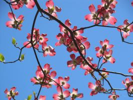 Blossoms and Sky by MollyMcMolly