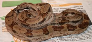 Post Shed - Salmon Boa 1 by Raah-man