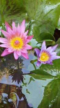 Waterlily2 by crystal-sand