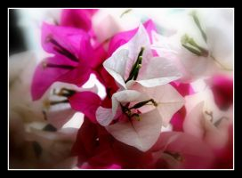 The Pink and White 2 by uk-antalya