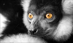BW ruffed lemur. by Evey-Eyes