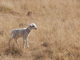 South Africa Series-Lamb by maromichan