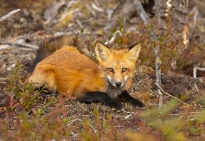 Fox by Les-Piccolo