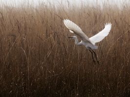 Egret Escape - II by InayatShah