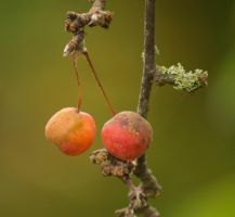 Day 313: Crab Apples by Kaz-D