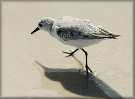 Sanderling by TThealer56