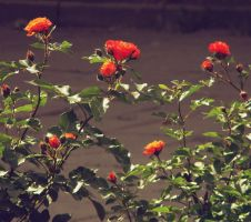 red roses by Volodina-Yulia