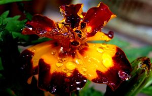 Flower with morning dew by BergOpZoom