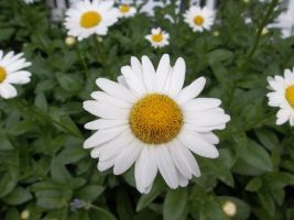 Daisies by sabather