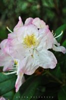 Rhododendron by Rouge07