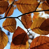 golden leaves by Blaumohn