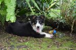 Link, the border collie by X-Alex