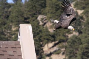Bald Eagle Launching From Roof by Shadow848327