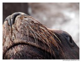 Sea Lion II by punksafetypin