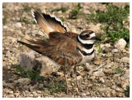 Killdeer Encounter by dove-51