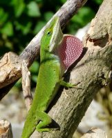 Dewlap...Carolina Anole by duggiehoo