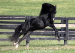 black stallion 10 by venomxbaby