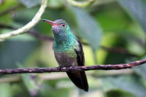 Rufous-tailed Hummingbird by Pharmagician