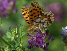 July 28th Queen of Spain Fritillary 2 by Taliesin-Neonblack