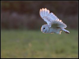 Barn Owl Flight 2 by cycoze