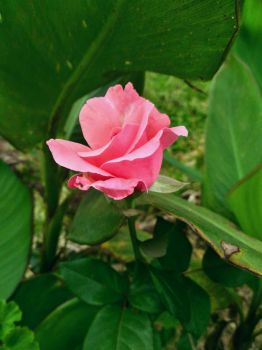 The Pink Rose by LuanaS