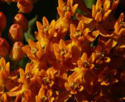 Asclepias.......Butterfly Weed by duggiehoo