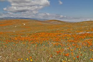 California Poppy Reserve by zootnik