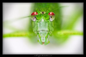 The looking cricket by stellanigra