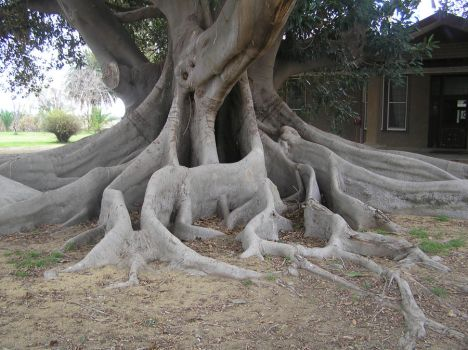 Giant fig tree 2 by drumic-stock