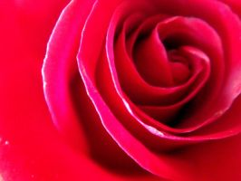 Red Passion Rose by Liburnica