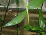 Paperkite butterfly 2 by naneth