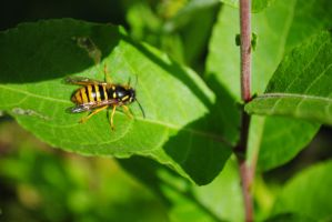 Wasp by MaePhotography2010