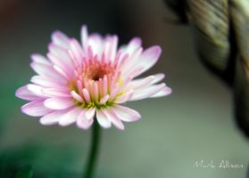 Aster 5 by Mark-Allison