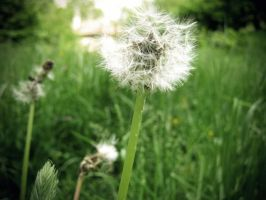 dandelions by mindreader-x