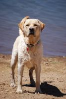 Labrador Retriever 6 by xxtgxxstock