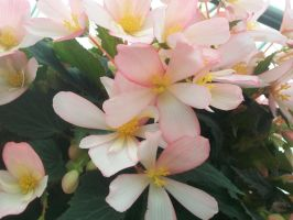 Begonia by WolverineGuardian