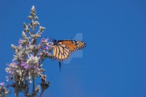 Monarch in the blue by Spikem22