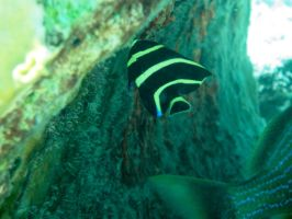 Juvinile French Angelfish by Zachg56