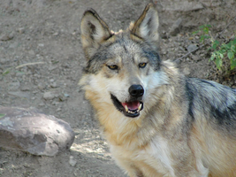 ASDM: Mexican Wolf 5 by FamilyCanidae