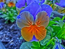 Pansy by SquigglyButterfly
