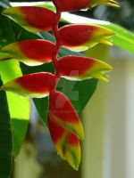 Heliconia rostrata by Otoff