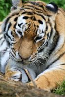 Siberian Tiger 10 by Mayini