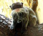 Funny squinting moustache tamarin by Cloudwhisperer67