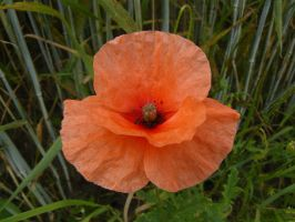 Little red Poppy flower by Nexu4